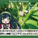 【しろいし産えだまめ】枝豆の花が咲きました!