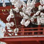 常林寺の桜は見頃です