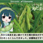 【しろいし産えだまめ】枝豆のサヤがふくらんできました